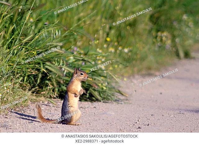Caucasian squirrel, or Persian squirrel, (Sciurus anomalus), Lesbos, Greece