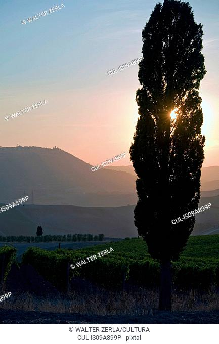 Grapevines and cypress tree at sunrise, Tuscany, Italy