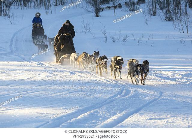 Dog sledding in the snowy landscape of Kiruna, Norrbotten County, Lapland, Sweden