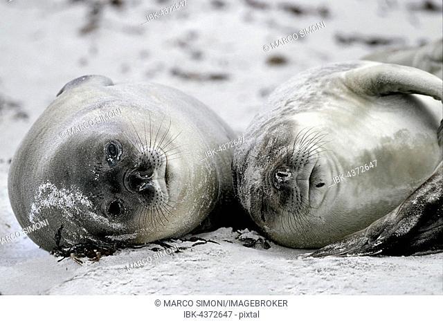 Southern Elephant Seal pups (Mirounga leonina) enjoying the beach, Sea Lion Island, Falkland Islands
