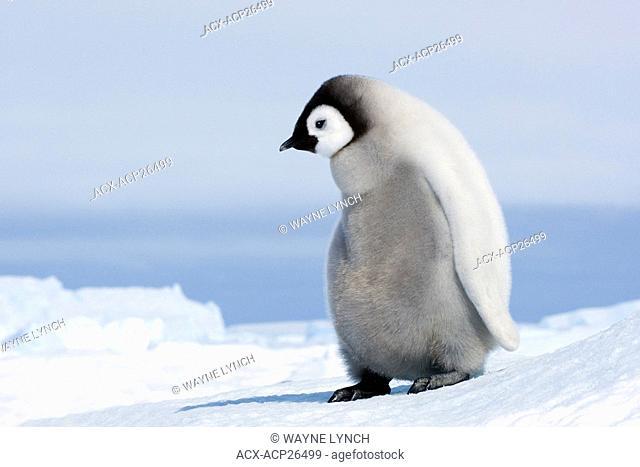 Emperor penguin Aptenodytes forsteri chick, Snow Hill Island, Weddell Sea, Antarctica