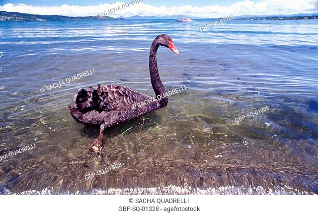 Swans on Lake Taupo, North Island, Taupo, New Zealand