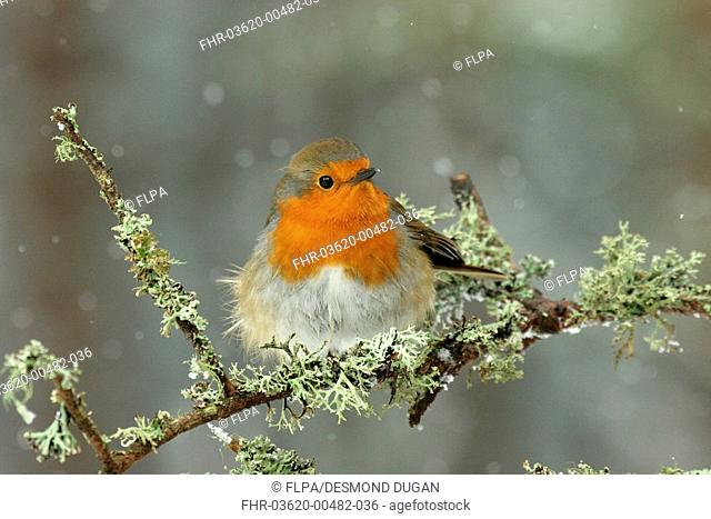 European Robin Erithacus rubecula adult, perched on lichen covered twig, in snowfall, Abernethy Forest N R , Cairngorms N P , Highlands, Scotland