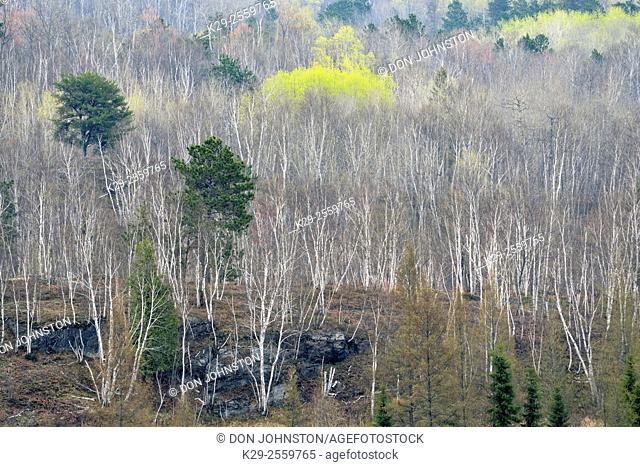 A hillside of birch and aspen with emerging spring foliage, Greater Sudbury, Ontario, Canada