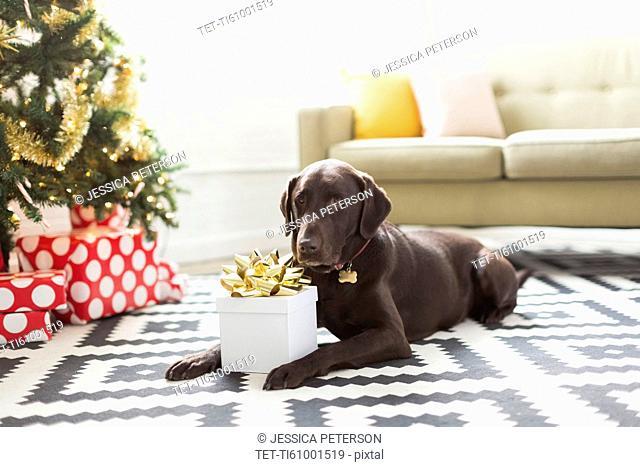 Chocolate Labrador lying on carpet next to Christmas tree