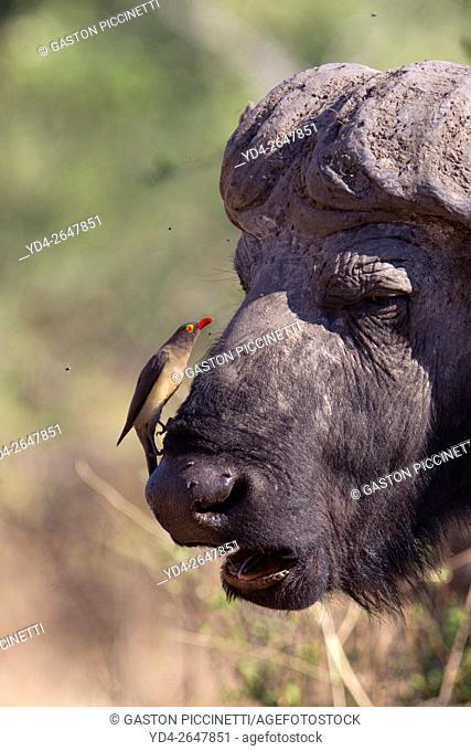 Red-billed Oxpecker (Buphagus erythrorhynchus), on a Cape buffalo (Syncerus caffer), Chobe National Park, Botswana