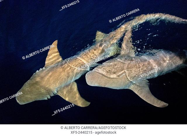 Nurse Shark, Nebrius ferrugineus, Felidhe Atoll, Maldives, Indian Ocean, Asia