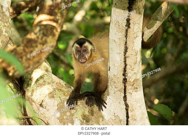 Capuchin monkey sits in a tree;Pantanal brazil