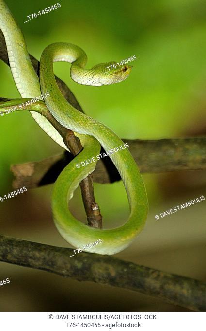 Wagler's pit viper in Bako National Park in Sarawak, Borneo, Malaysia