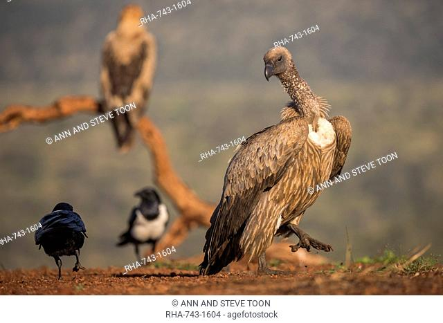 Whitebacked vulture (Gyps africanus), Zimanga Private Game Reserve, KwaZulu-Natal, South Africa, Africa