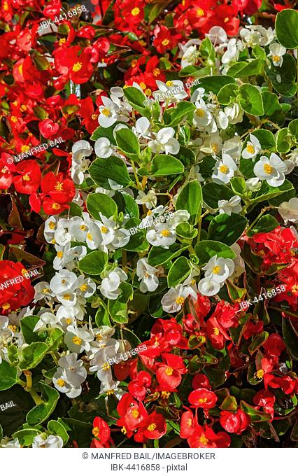 Red and white begonias (Begonia) blooming in Germany