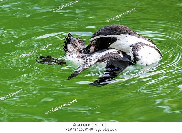 Humboldt penguin / Peruvian penguin / patranca (Spheniscus humboldti) South American penguin preening feathers while swimming