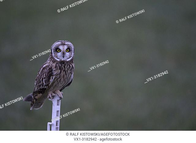 Short-eared Owl ( Asio flammeus ) at dawn in last twilight, perched on a fence pole, intensive bright eyes.