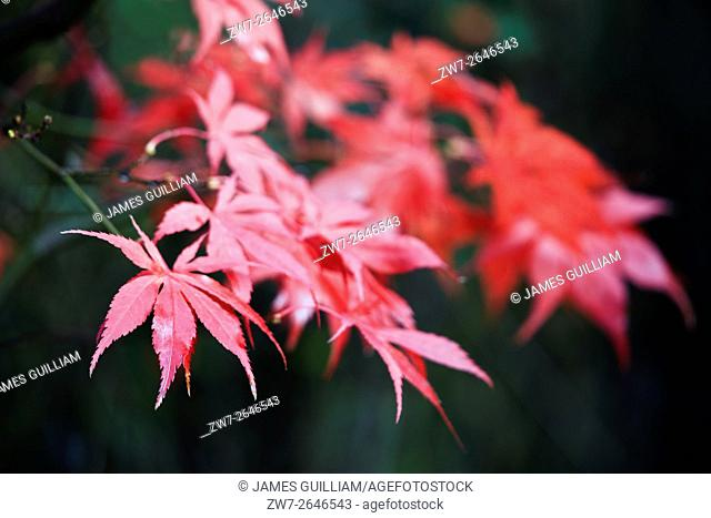 Autumn Fall colour Acer palmatum variety Bloodgood