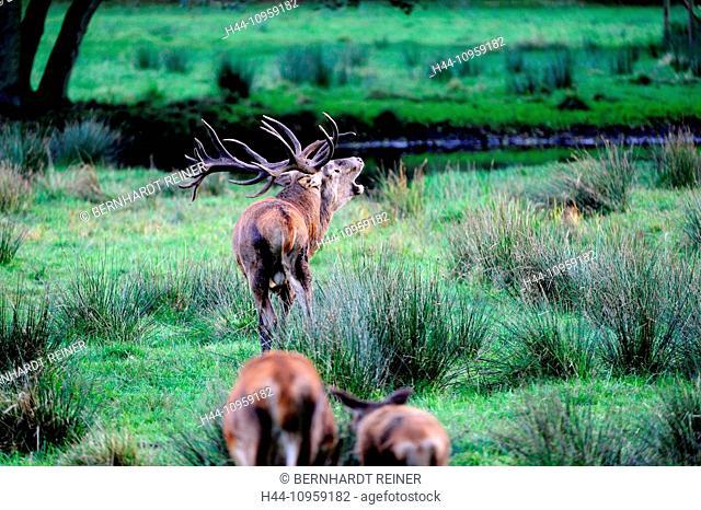 Red deer, antlers, antler, Cervid, Cervus elaphus, deer, stag, stags, hoofed animals, autumn, cloven-hoofed animal, rut, rutting season, animal, animals