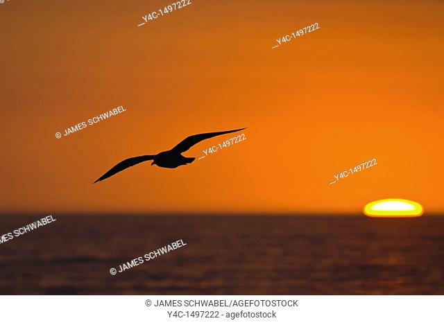 Seagull flying silhouetted aganist orange sunset sky with sun on Gulf of Mexico horizon