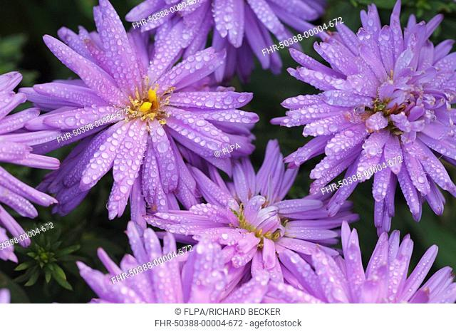 Michaelmas Daisy Aster novi-belgii close-up of flowers, with dew drops, cultivated garden perennial