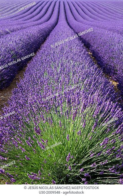Lavender fields (Lavandula angustifolia), in Brunet, plateau de Valensole. Alpes de Haute Provence department. Provence-Alpes-C™te d'Azur region