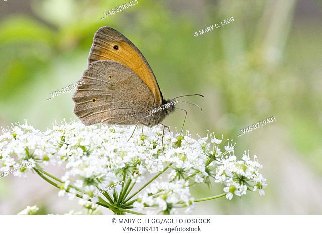 Meadow Brown, Maniola Jurtina, large brown butterfly with sexual dimorphism. Larval foodplants are meadow grasses. Adults feed on large range of meadow flower...