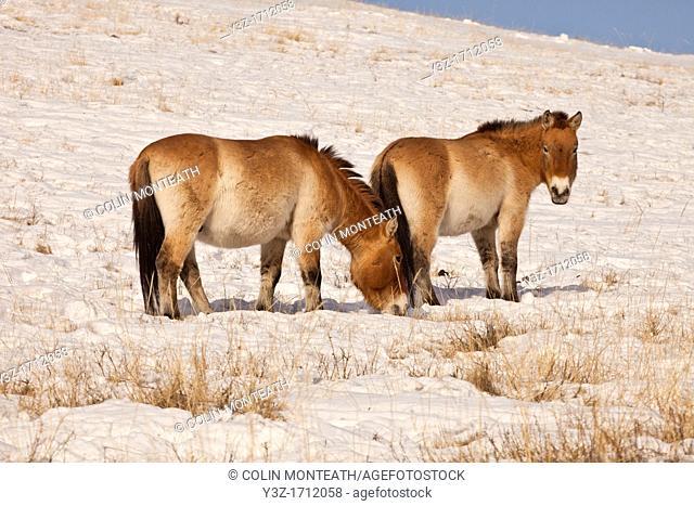 Takhi in winter coats, Przewalski horses, Equus przewalski, reintroduced from Europe, winter snow in Hustai National Park, Mongolia