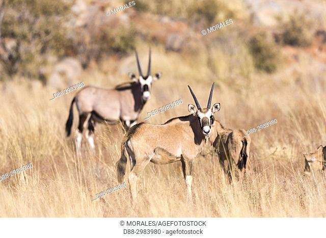 Africa, Southern Africa, South African Republic, Kalahari Desert, Oryx gazelle, or gemsbok (Oryx gazella), adults and youngs