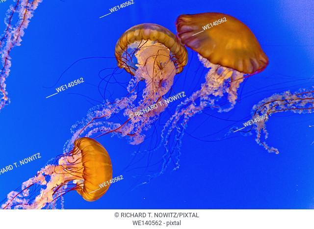 Black sea nettle (Chrysaora achlyos) at the Monterey Aquarium