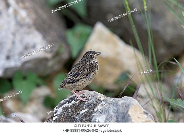 Ortolan Bunting (Emberiza hortulana) fledgling, perched on rock, Constanta, Romania, June