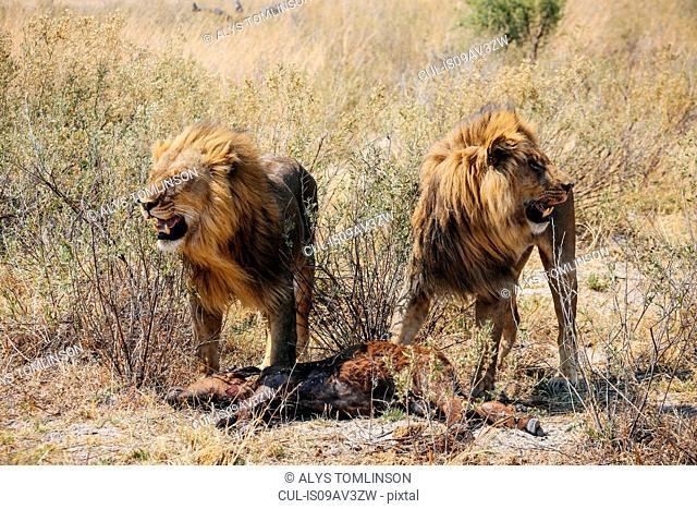 Lions with kill (buffalo calf), Okavango Delta, Botswana