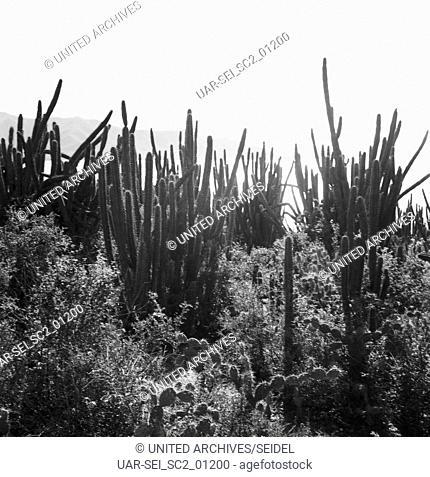 Kakteen an der Küste von Bahina Juan Griego, Venezuela 1966. Cactuses at the coast of Bahia Juan Griego, Venezuela 1966