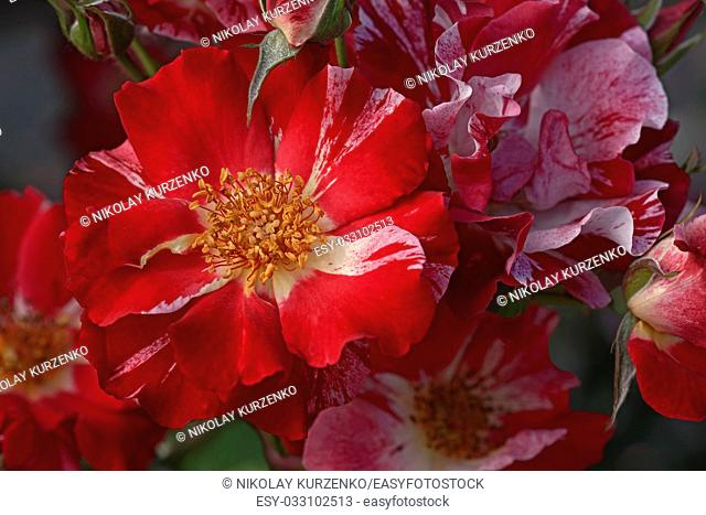 Hybrid rose (Rosa x hybrid). Close up image of several red flowers