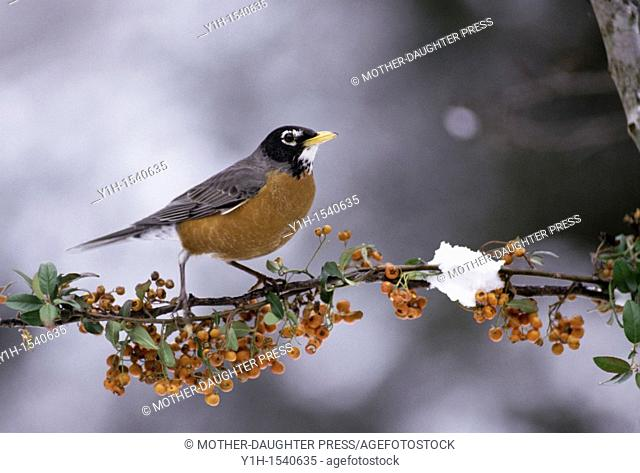 A Robin, Turdus migratorius, stands on winter branch of orange pyracantha berries as snow is falling, Midwest USA