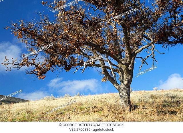 Oak in Mays Canyon, Wasco County, Oregon
