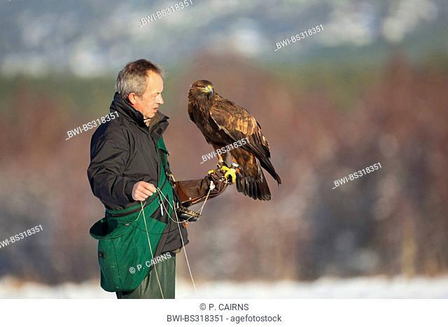 golden eagle (Aquila chrysaetos), falconer with captive golden eagle, United Kingdom, Scotland, Cairngorms National Park