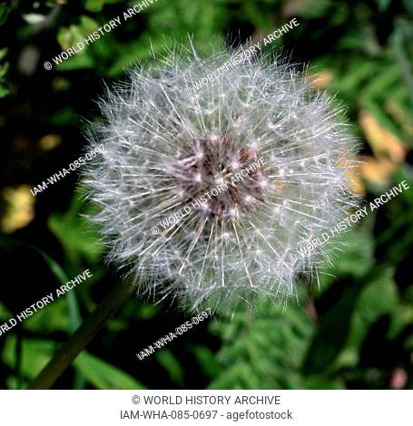 fruits (cypselae) of the Taraxacum officinale, the common dandelion, a flowering herbaceous perennial plant of the family Asteraceae (Compositae). T