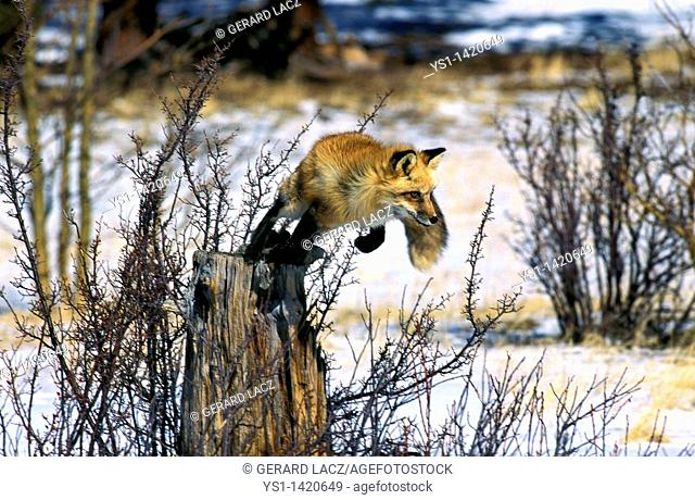 RED FOX vulpes vulpes, ADULT LEAPING FROM TREE TRUNCK, CANADA