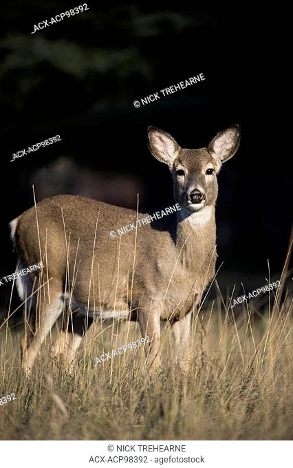 whitetail, deer, Odocoileus virginianus, doe, female, rocky mountains, Idaho, United States
