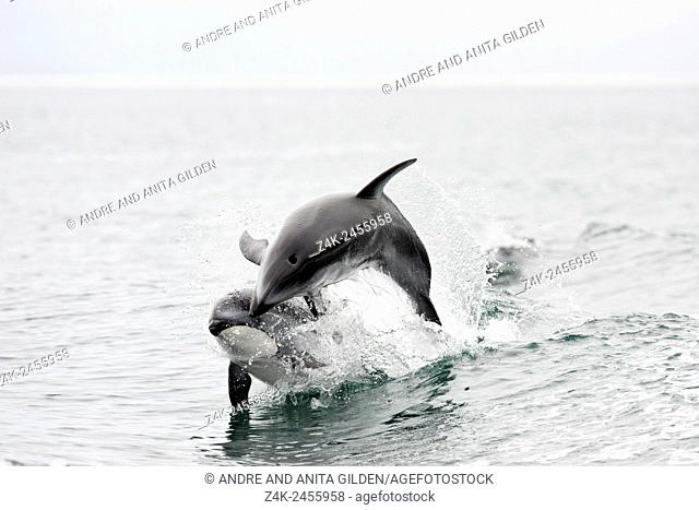 Pacific White-sided dolphin (Lagenorhynchus obliquidens) playing together, Knight inlet, British Columbia, Canada