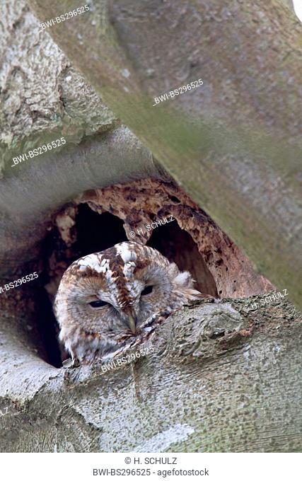 Eurasian tawny owl (Strix aluco), sitting in a tree hole, Germany, Schleswig-Holstein