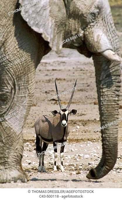 Gemsbok (Oryx gazella) and African Elephant (Loxodonta africana); while the elephant bull occupies the waterhole, the gemsbok has to wait in the vicinity for...