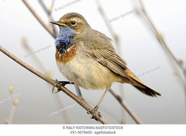 White-spotted Bluethroat ( Luscinia svecica ) perched on a branch, natural surrounding, typical view, endangered species, wildlife, Europe