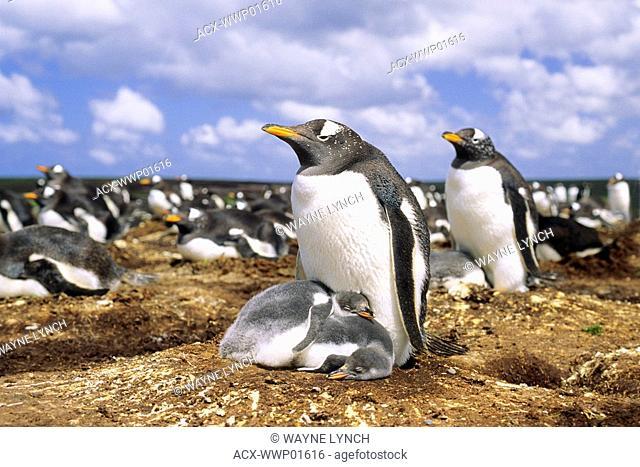 Gentoo penguin Pygoscelis papua nesting colony, Falkland Islands