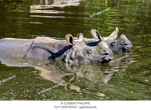 Indian rhinoceros (Rhinoceros unicornis) female with young bathing in pond