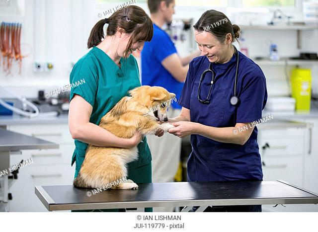 Nurse and vet examining pet dog on table in vet surgery