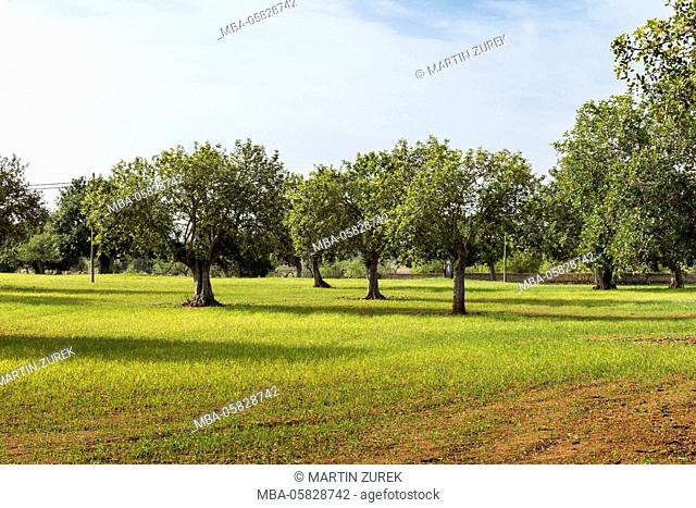 Olive trees on Majorca, Spain, Majorca, the Balearic Islands, Balearic islands, spring