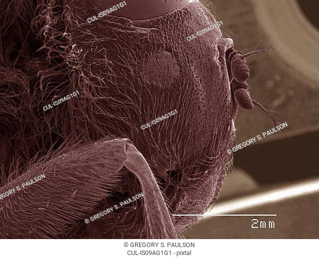 Coloured SEM of head of botfly