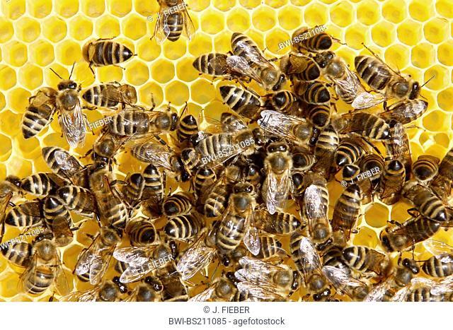 honey bee, hive bee (Apis mellifera mellifera), honeycomb with bees, Germany, Rhineland-Palatinate