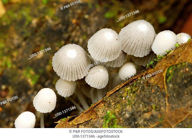 Caps mushroom, Coprinus sp , Rio Branco, Acre, 2008