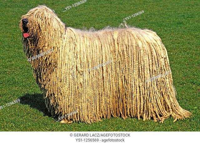 KOMONDOR DOG, ADULT ON GRASS