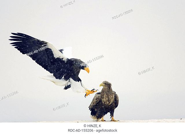 Steller's Sea Eagle and White-tailed Eagle Hokkaido Japan Haliaeetus pelagicus Haliaeetus albicilla