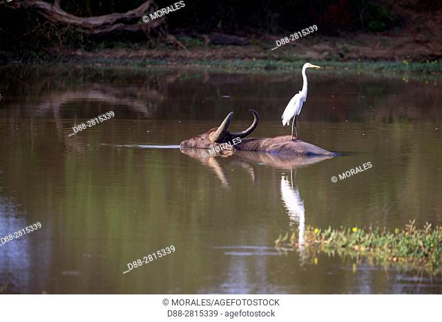 Sri Lanka, Yala national park, Wild water buffalo or Asian buffalo (Bubalus arnee), resting in the water, with a great egret (Ardea alba) on the back